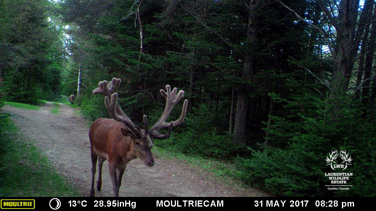 Stag MT1 1